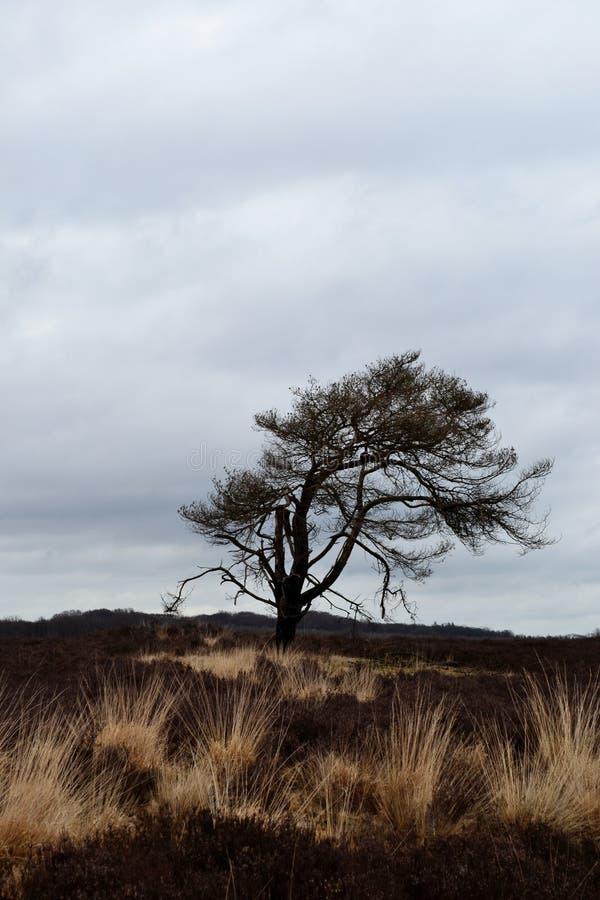 Eenzame boom in nationaal park Veluwe (Nederland) royalty-vrije stock foto's