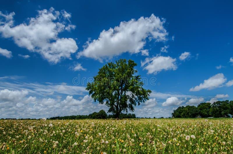 Eenzame Boom op een Gebied van Paardebloemen stock afbeeldingen