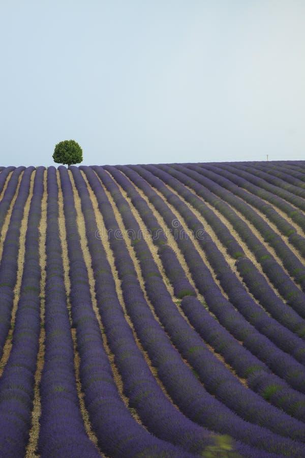Eenzame boom op een lavendelgebied royalty-vrije stock foto