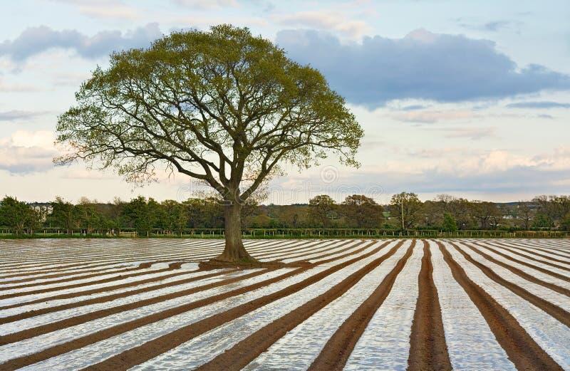 Eenzame boom op geploegd landbouwgebied stock afbeelding