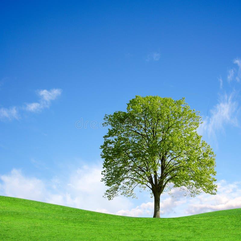 Eenzame boom op groen gebied stock foto