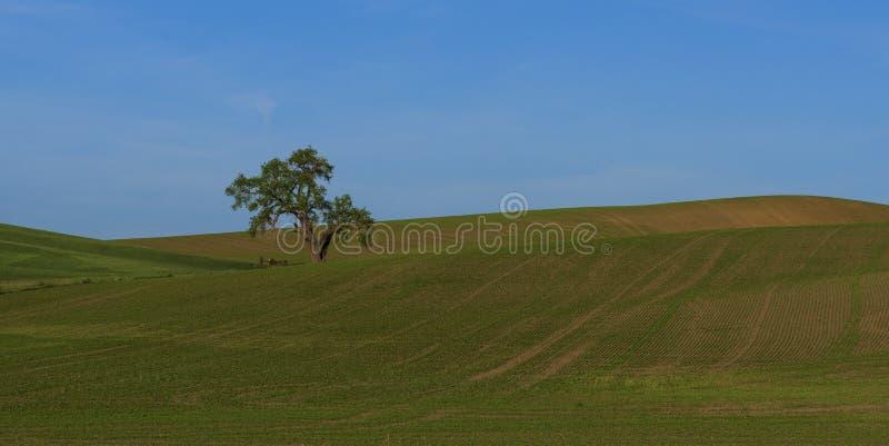 Eenzame boom op het gebied stock afbeeldingen