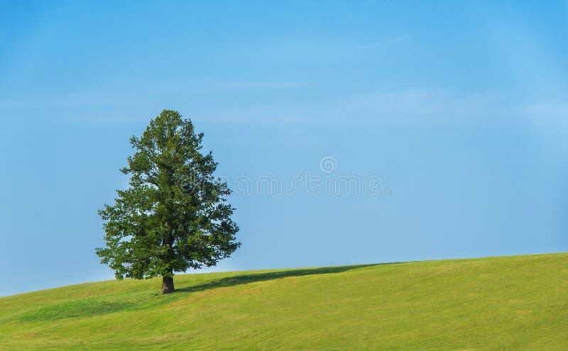 Eenzame boom op het groene gebied stock afbeeldingen