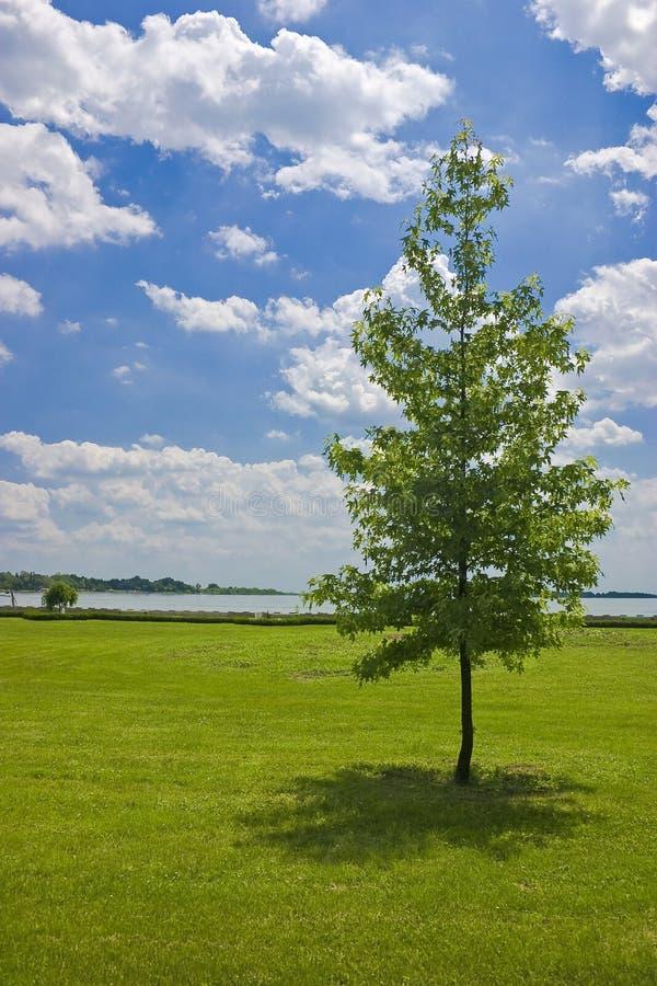 Eenzame boom, Palic meer, Servië stock afbeeldingen