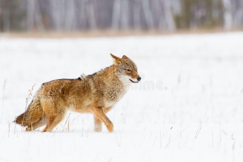 Eenzame Coyote royalty-vrije stock fotografie