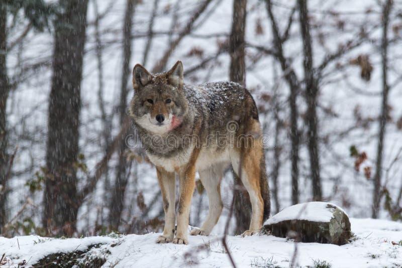Eenzame Coyote in de Winter royalty-vrije stock foto's