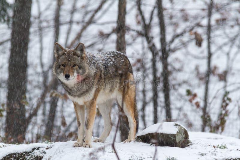 Eenzame Coyote in een de winterlandschap royalty-vrije stock afbeelding