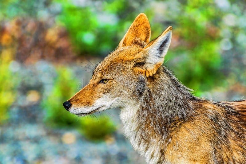 Eenzame coyote in wildernis van Brits Colombia, Canada royalty-vrije stock fotografie