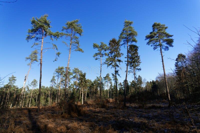 Eenzame dennenbomen in het winterbos en de blauwe hemel zonder wolken stock afbeeldingen