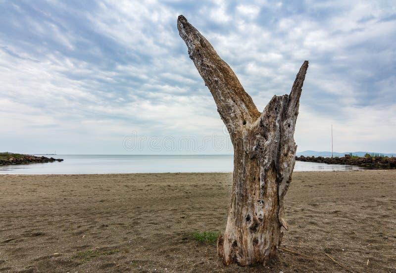 Eenzame dode boom op het strand royalty-vrije stock afbeelding