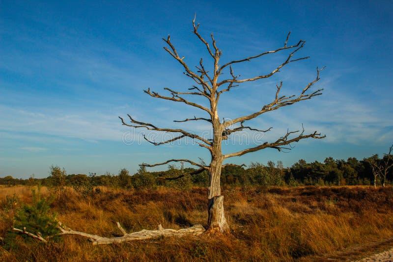 Eenzame droge boom met het uitspreiden van naakte takken in de herfst tegen de blauwe hemel in een Europees bos royalty-vrije stock foto's