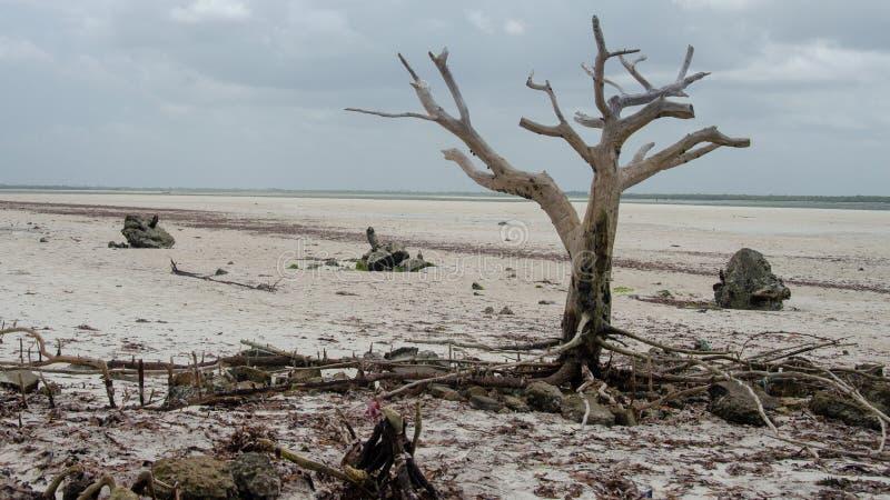 Eenzame droge boomstomp op het strand van Zanzibar stock foto