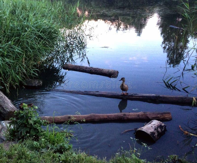 Eenzame eend in aard stock foto