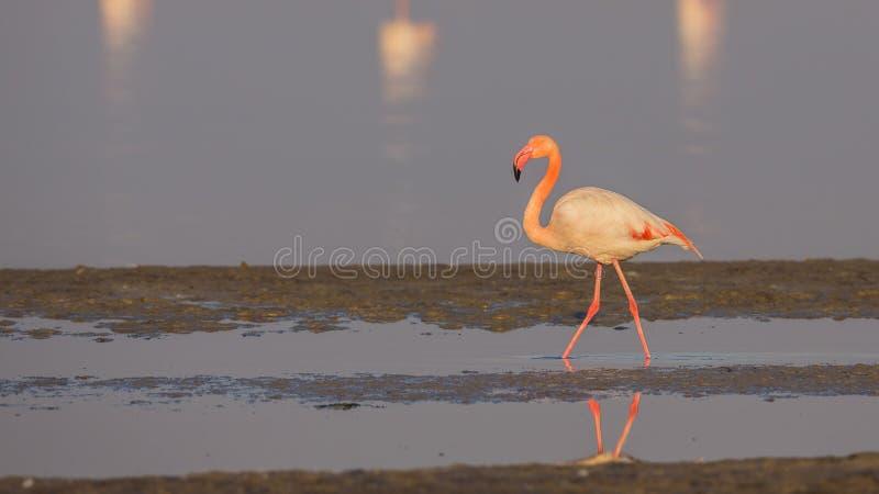 Eenzame Flamingo royalty-vrije stock foto