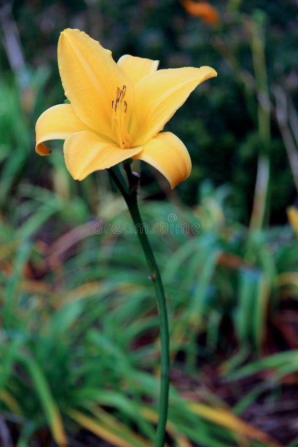 Eenzame, gele lelie stock foto