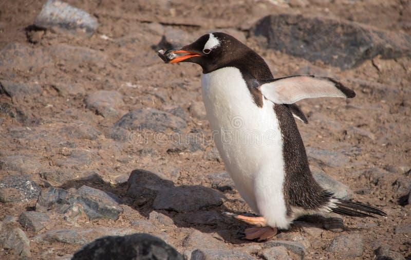 Eenzame Gentoo-Pinguïn in Antarctica stock foto