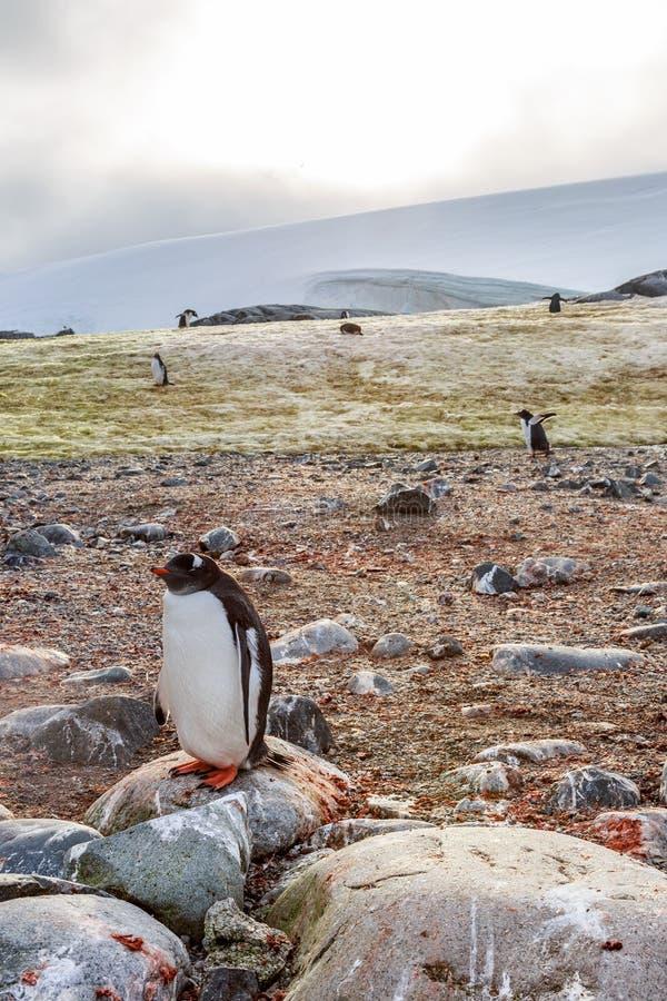 Eenzame gentoopinguïn die zich op steen, Peterman-Eiland, Antarc bevinden stock afbeelding