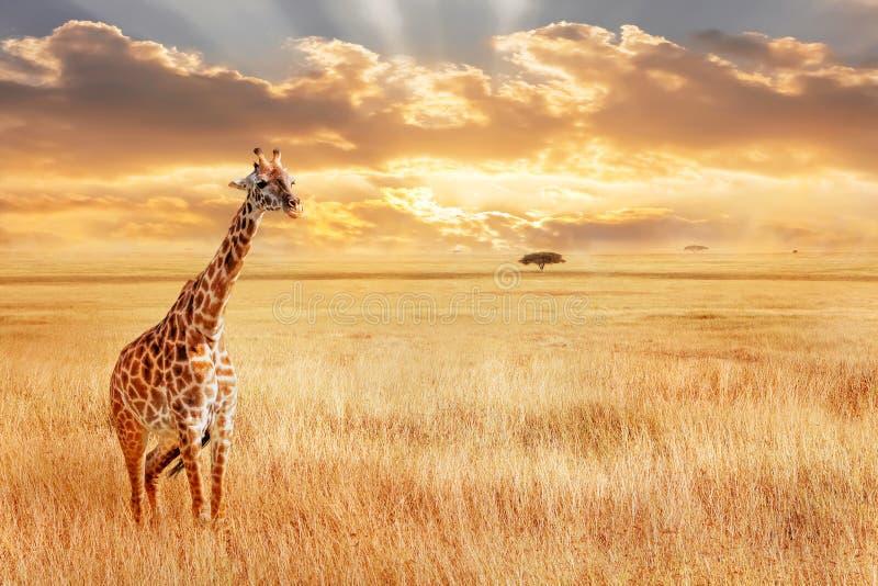 Eenzame giraf in de Afrikaanse savanne Wilde aard van Afrika Artistiek Afrikaans beeld stock fotografie
