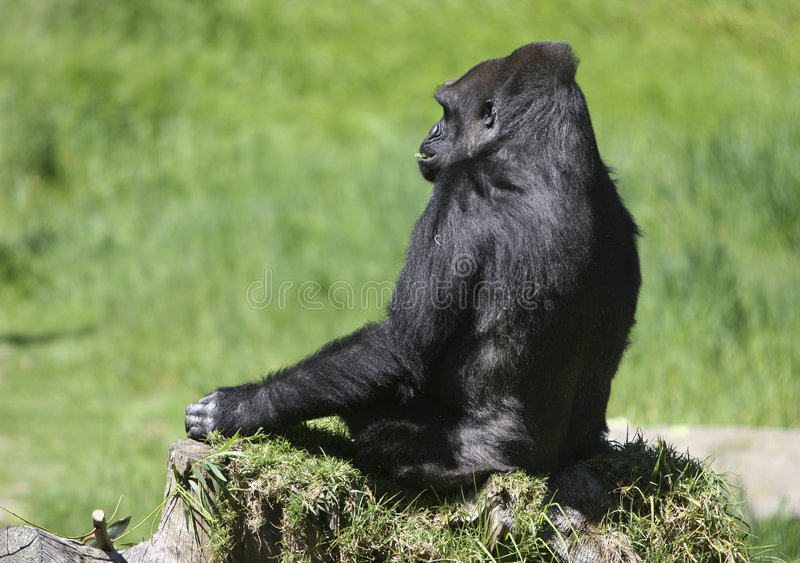 Eenzame Gorilla stock foto