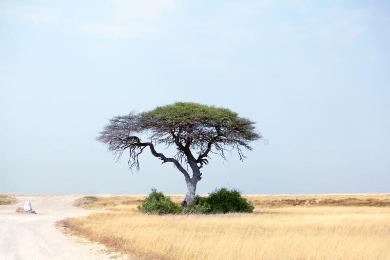 Eenzame groene acaciaboom en lege weg op geel woestijngebied en blauwe hemelachtergrond in het Nationale Park van Etosha, Namibië stock afbeeldingen