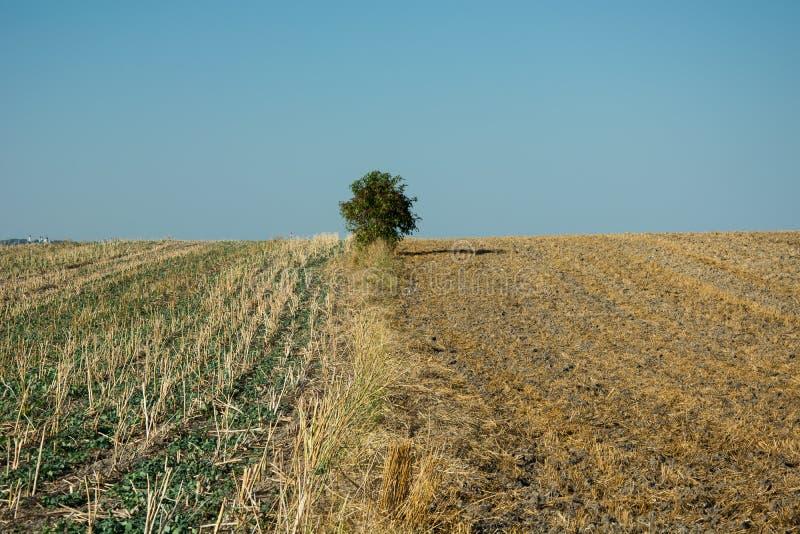 Eenzame groene boom en gemaaide gebieden, horizon en wolkenloze hemel royalty-vrije stock foto's