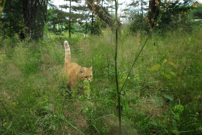 Eenzame grote rode richels in het bos gestreepte oranje richels in een groen de zomerbos royalty-vrije stock afbeeldingen