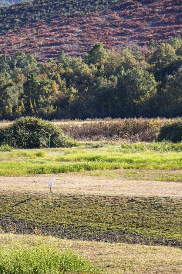 Eenzame grote witte aigrette in moerasland dichtbij Meer Kerkini, Griekenland royalty-vrije stock foto's