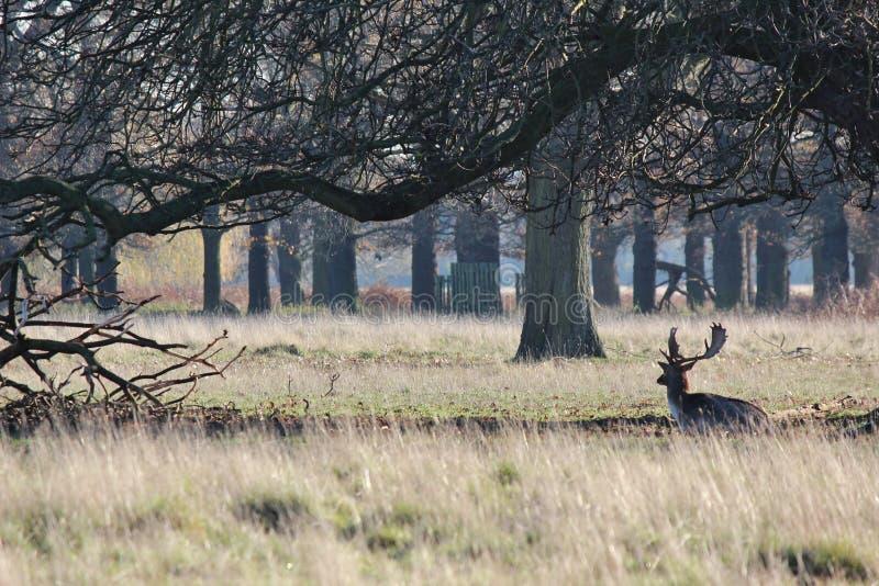 Eenzame Herten royalty-vrije stock foto