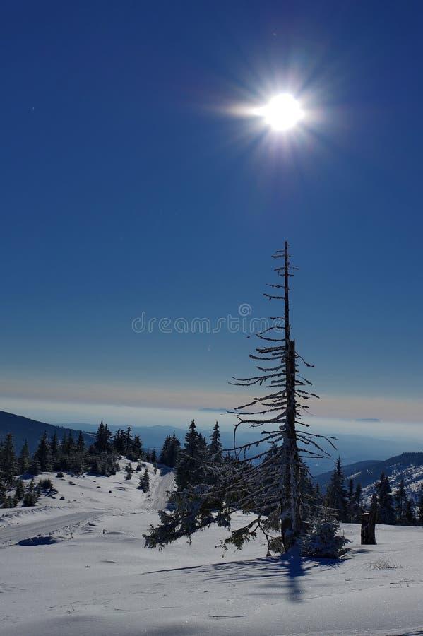 Eenzame, het sterven sneeuwpijnboomboom op backlight royalty-vrije stock foto's