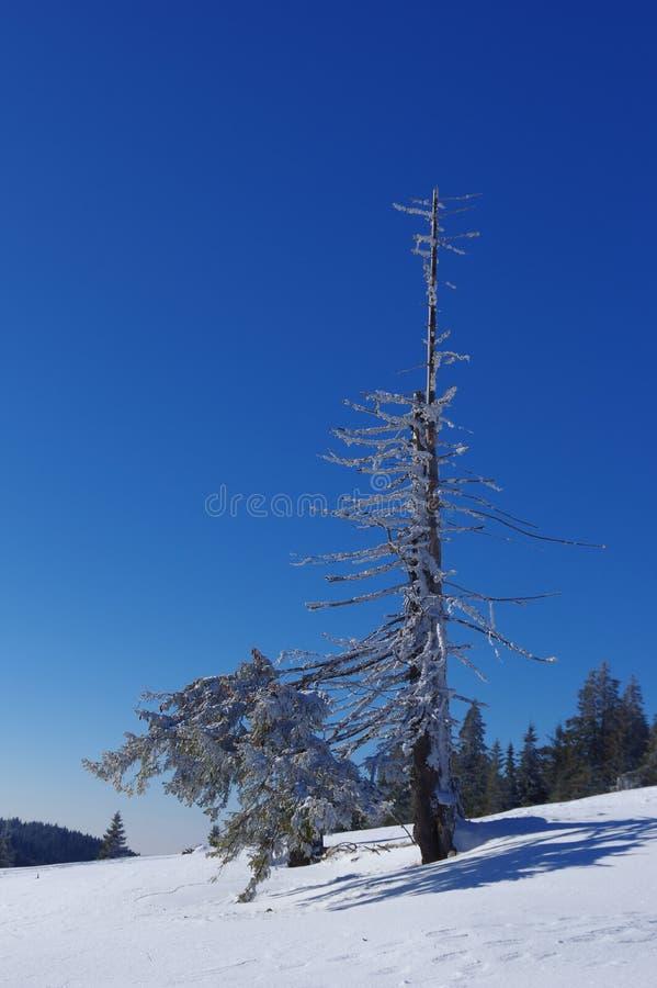 Eenzame, het sterven sneeuwpijnboomboom op de bergen royalty-vrije stock afbeeldingen