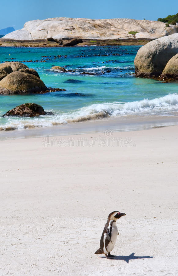 Eenzame kaappinguïn op strand royalty-vrije stock foto's