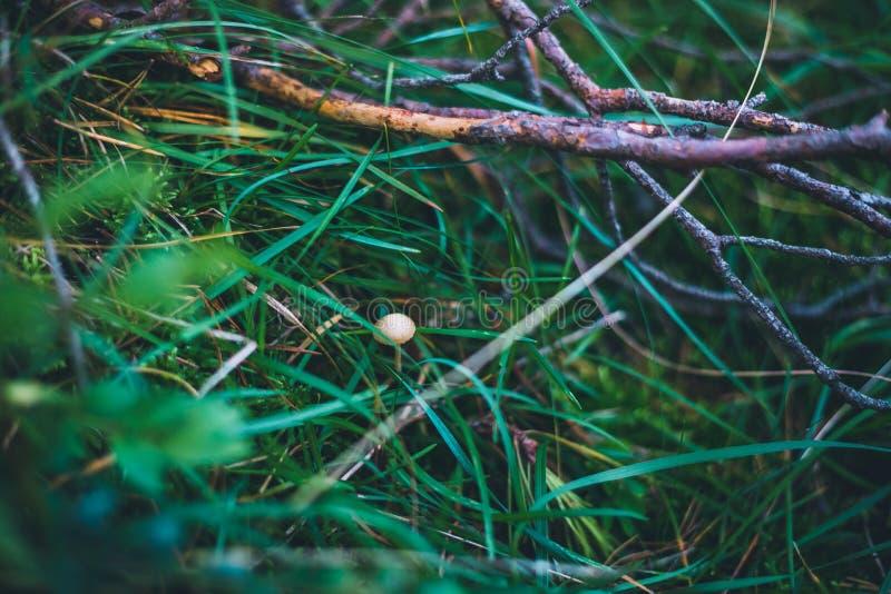 Eenzame kleine paddestoel op het gras stock fotografie