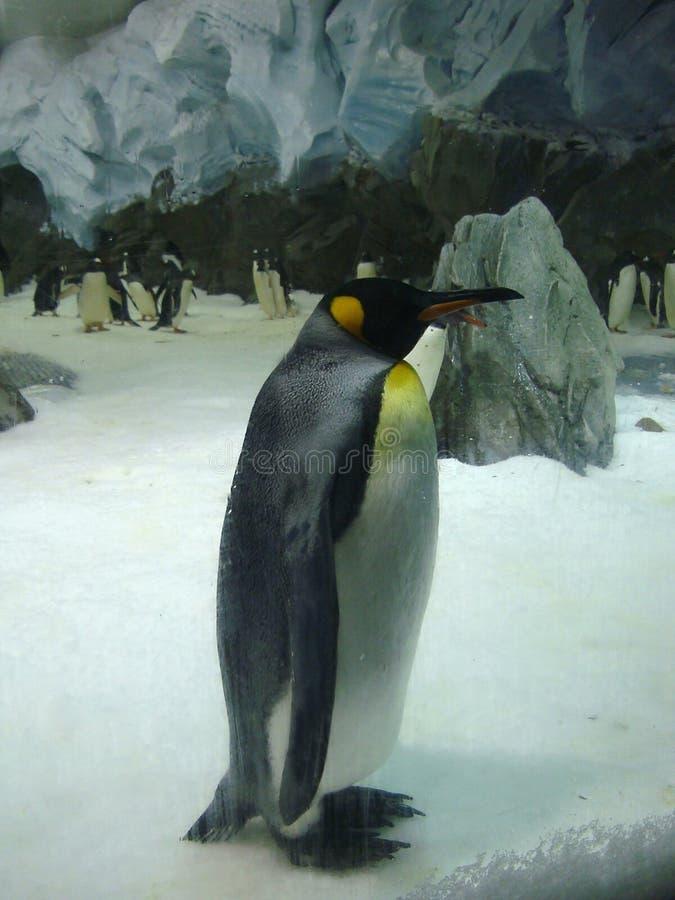 Eenzame koningspinguïn in dierentuin Australië royalty-vrije stock afbeeldingen
