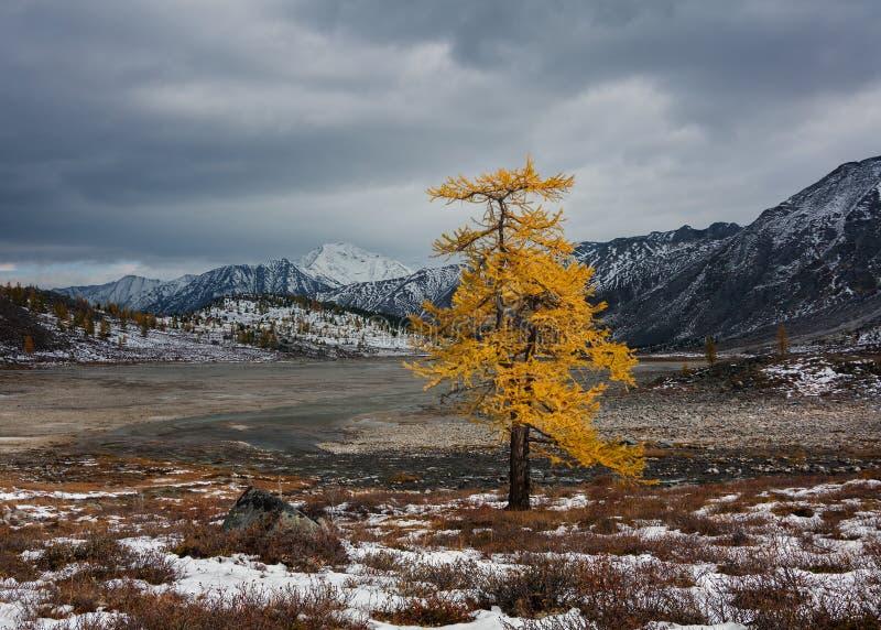 Eenzame lariks in de herfst stock afbeelding