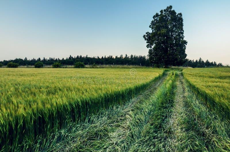 Eenzame lindeboom op het groene tarwegebied tijdens de zomer, zonnige dag stock afbeelding