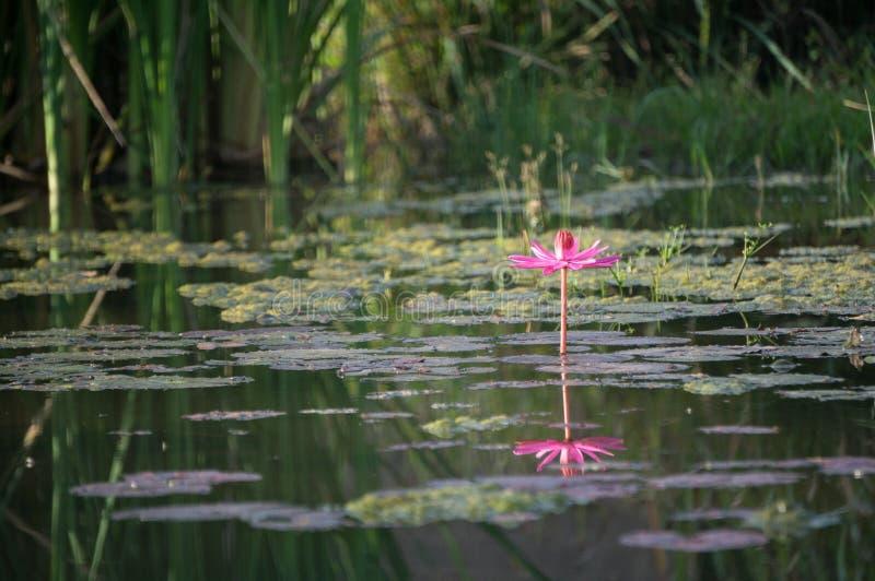 Eenzame lotusbloem in de vijver royalty-vrije stock foto