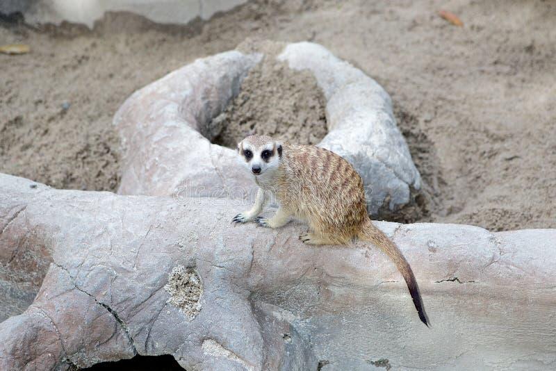 Eenzame meerkat stock afbeelding