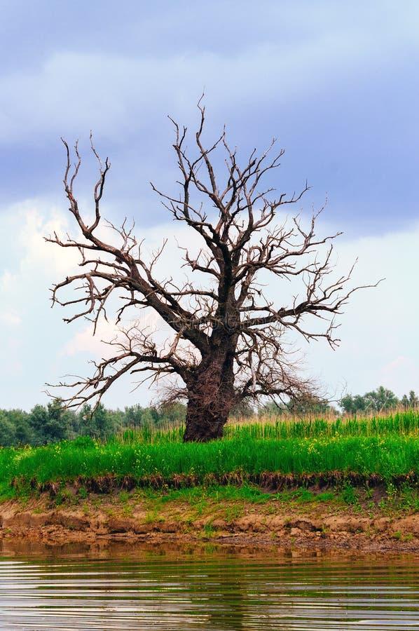 Eenzame naakte boom door de rivier stock foto