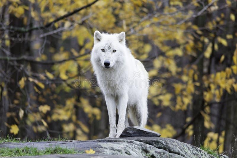 Eenzame Noordpoolwolf in een daling, bosmilieu stock foto's