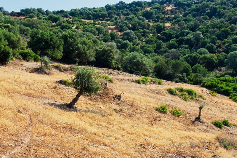 Eenzame Olive Tree op Naakte Berghelling, Griekenland royalty-vrije stock foto's