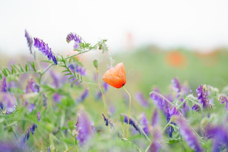 Eenzame papaver die door wildflowers wordt omringd Gebied van wilde bloemen bij een heldere zonnige dag Kleurrijk de zomerlandsch stock foto's