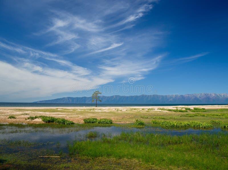 Eenzame pijnboom dichtbij meer Baikal stock foto