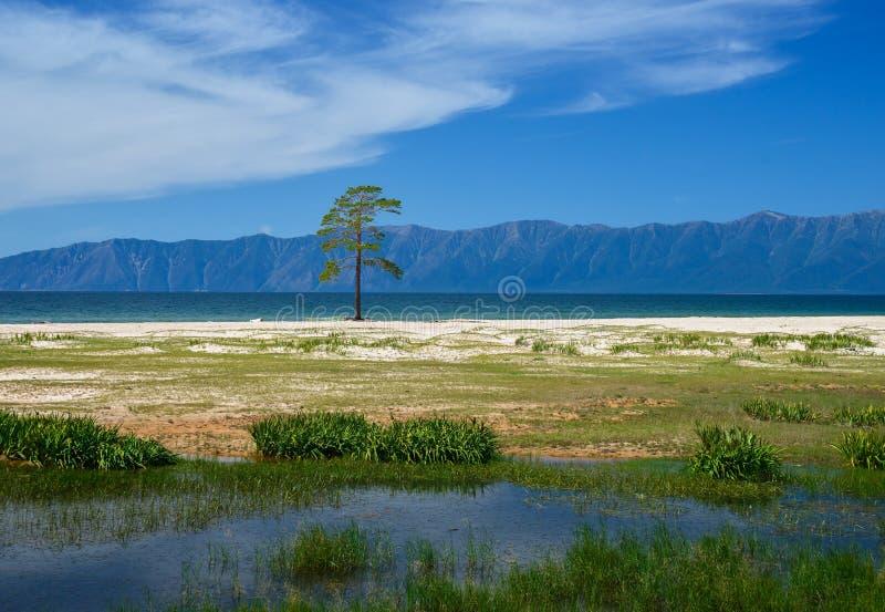 Eenzame pijnboom dichtbij meer Baikal royalty-vrije stock fotografie