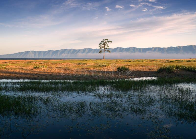 Eenzame pijnboom dichtbij meer Baikal stock foto's