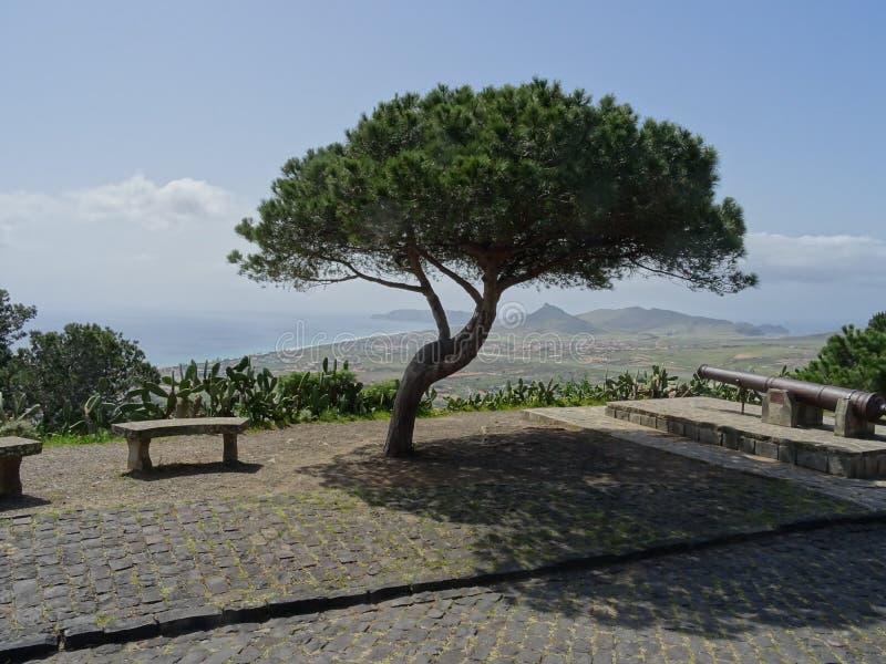 Eenzame Pijnboom op Porto Santo stock afbeeldingen