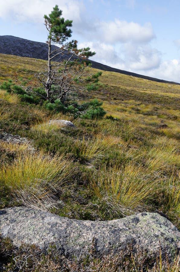 Eenzame Pijnboom Scots Boom stock afbeelding