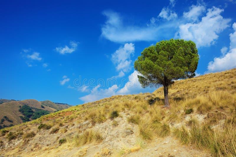 Eenzame pijnboomboom op verzengende heuvels van Calabrië stock afbeelding