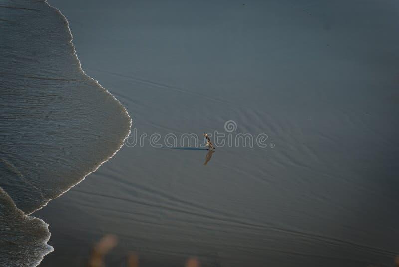 Eenzame pinguïn bij het strand royalty-vrije stock fotografie