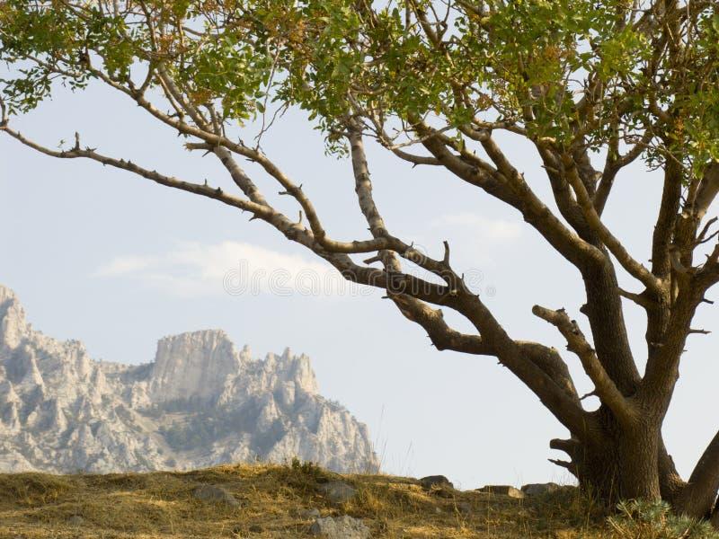 Eenzame pistacheboom royalty-vrije stock foto