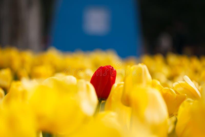 Eenzame rode tulp onder het geel royalty-vrije stock afbeeldingen